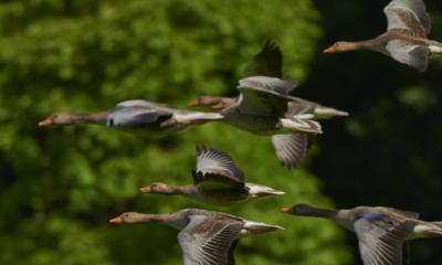 Vliegende ganzen